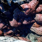 A huddle of starfish