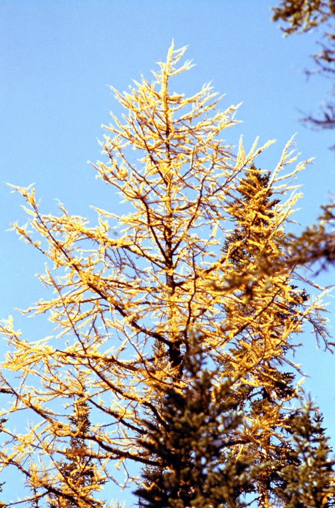 Alpine larch larix lyallii - dads pick