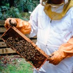 Bee keeper inspecting the frames