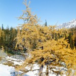 Bent larch