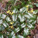 Berberis repens
