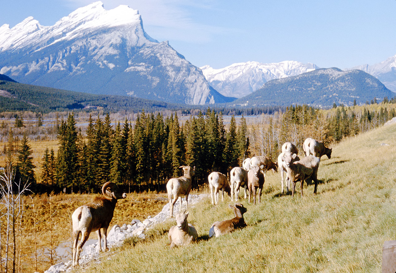 Bighorn sheep and Mt Rundle - Banff national park