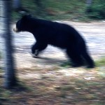Black bear on the run - Prince Albert national park