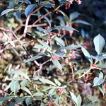 Black twinberry lonicera involauat