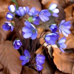 Blue flowers between brown leafs