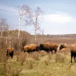 Buffalo with very new calf, Riding mountain - national park Manitoba