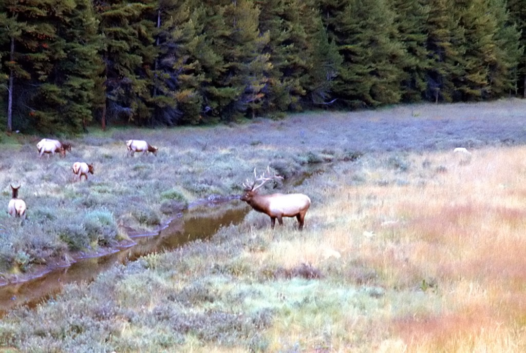 Bull elk with a harem of cows - dads pick