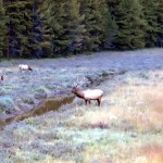 Bull elk with a harem of cows