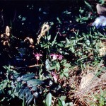 Calypso orchids and fern fronds