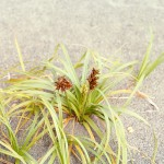 Carex macrocephalo