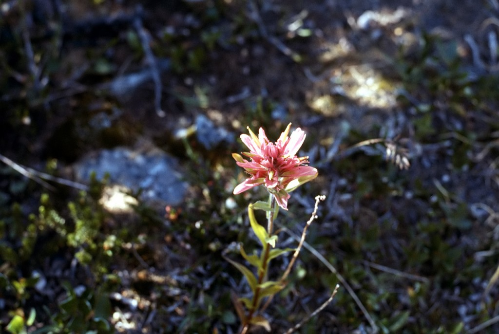 Castilleja species - dads pick
