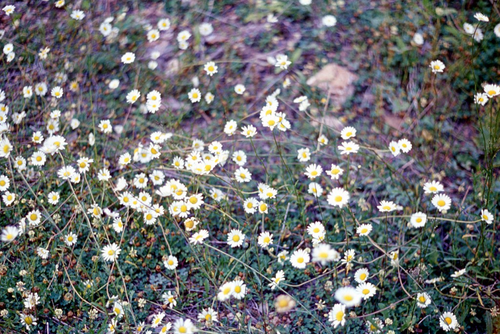 Chrysanthemum lewcantheum - dads pick