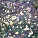 Chrysanthemum lewcantheum