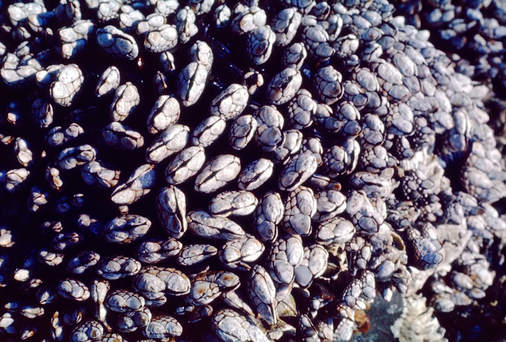 Closeup goose barnacles - dads pick