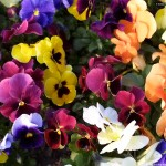 Colorful sunny flowers