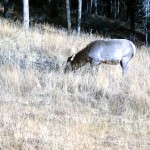 Doe elk foraging