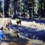 Female moose and calf at a salt lick