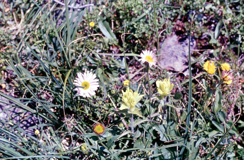 Fleabane and yellow Indian paintbrush - dads pick