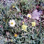 Fleabane and yellow Indian paintbrush