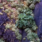 Foliage in a rock cleft