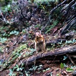 Golden mantles ground squirrel 3