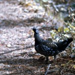Grouse on the trail 2