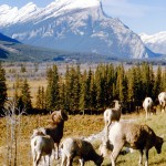 Herd of bighorns sheep and Mt Rundle - Banff national park
