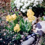 Iris chamae and perennial candytuft