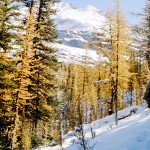Larch trees in the snow - Yoho
