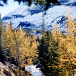 Larches at the tree line - Yoho national park
