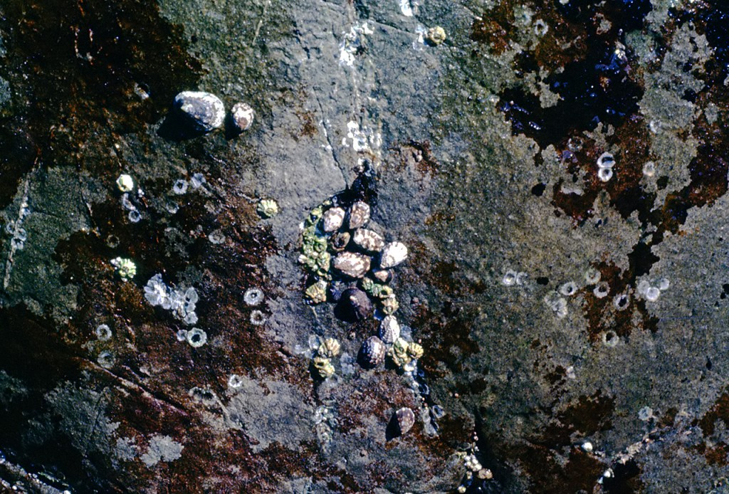 Limpet barnacles - dads pick