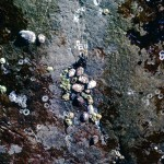 Limpet barnacles
