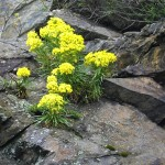 Mountain flowers 2
