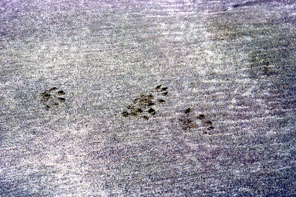 Otter tracks - dads pick