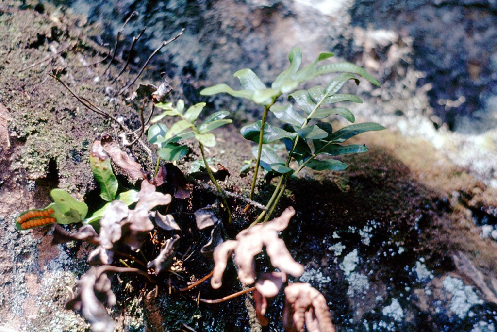 Polypodium scouleri - dads pick