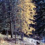 Poplar in fall