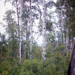 Prairie forest and deer