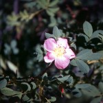 Prickly rose (rosa acicularis)