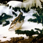 Ptarmigan showing camophlage colouring