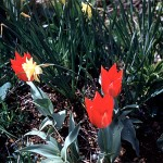 Red tulips and narcis