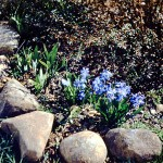 Scilla sibirica and berbaris