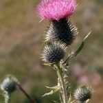 Scotch thistle