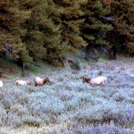 Small herd of elk cows