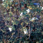 Snowberry bush in fruit