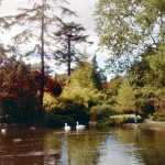 Swans in beacon hill park