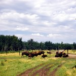 The buffalo paddock, Elk island - national park Alberta