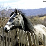 Chained horse over fence