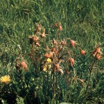 Flowered avens and dandilion