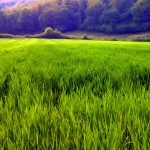 Green field of grass