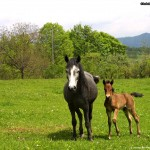 Horse with baby horse
